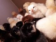 Цыплята в Гомеле